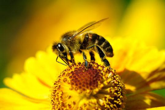 Прагнення жити - Отрута бджоли вбиває клітини раку | Фонд Інна